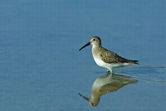 Red Knot (Calidris canutus) Royalty Free Stock Photography