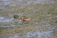 Red Knot Royalty Free Stock Image