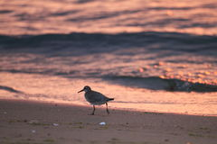 Red Knot Stock Images
