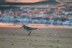 Red Knot Stock Image