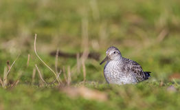 Red Knot Royalty Free Stock Images