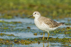 Red Knot. (Calidris canutus) was act in nature of Thailand Royalty Free Stock Photo