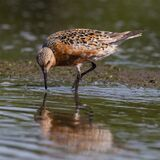 Red Knot feeding in a mud flat
