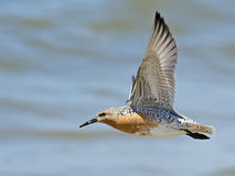Red Knot in Flight. A close up of a Red Knot in flight Royalty Free Stock Images