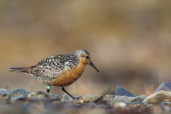 Red Knot. Foraging Among Rock With Research Band on Its Leg Royalty Free Stock Photos