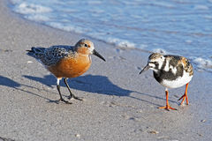 Red Knot and Ruddy Turnstone stock photo