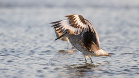 Red Knot Stretching Wings, San Carlos Bay, Bunche Beach Preserve Royalty Free Stock Images