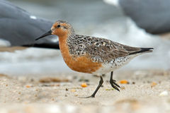 Red Knot. A Red Knot Walks Along the Beach Stock Photo