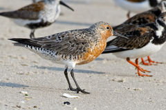 Red Knot Stock Photography