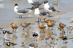 Red Knots on Beach Stock Photography