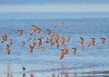 Red Knots in flight Royalty Free Stock Photos