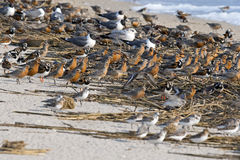 Red Knots Royalty Free Stock Images