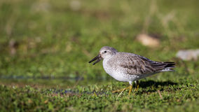 Red Knots. Two red knots (Calidris canutus) on greens Stock Photo