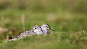 Red Knots. Two red knots (Calidris canutus) are sleeping among greenery Stock Image