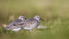 Red Knots. Two red knots (Calidris canutus) are walking around green meadow stock photography