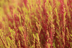 Red Kochia or Bassia scoparia selective focus by macro lens Royalty Free Stock Image