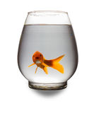 Red Koi carp looking at camera with mouth opened in a glass tank Stock Images