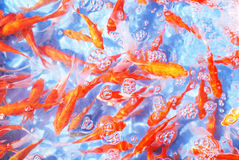The red koi carps Royalty Free Stock Photo