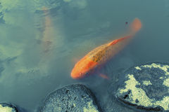 Red koi fish Royalty Free Stock Photos