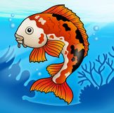 Red koi fish in water Royalty Free Stock Images