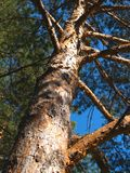 Red korean pine. Spruce tree in the forest Stock Photography