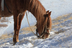 Red Kyrgyz horse grazing in the mountains in winter Royalty Free Stock Image