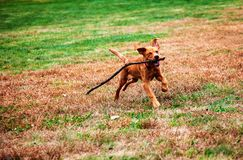 Free Red Labrador Puppy Playing Iwth Stick Stock Image - 163205111