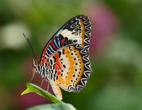 Red Lacewing. Perched on a leaf stock photography