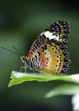 Red lacewing Stock Photos