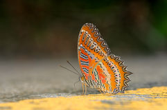 Red lacewing butterfly Stock Image