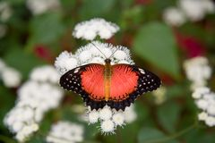 Red Lacewing Butterfly. A Red Lacewing butterfly (Cethosia biblis) feeding on white flowers royalty free stock images