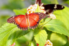 Red Lacewing Butterfly,aka,Cethosia biblis Stock Photos