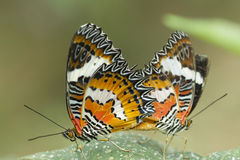 Red Lacewing butterfly, Cethosia biblis Stock Photography