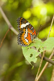 Red Lacewing butterfly, Cethosia biblis Royalty Free Stock Photo