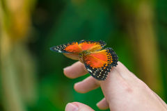 Red Lacewing butterfly Cethosia biblis Stock Images