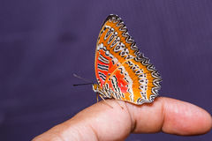 Red Lacewing butterfly Royalty Free Stock Photos
