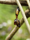 Red Lacewing butterfly emerging from pupa Stock Photography