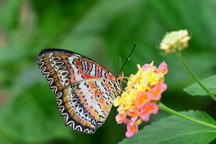 Red Lacewing Butterfly Royalty Free Stock Image
