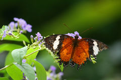 Red lacewing butterfly Stock Photo