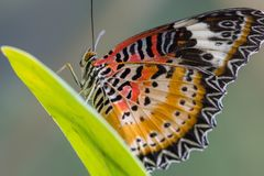 A Red Lacewing Butterfly. Sitting on a plant. The colors are black, red and orange. Houston, Texas stock photography