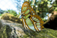Red lacewing butterfly on a rock,close up. Red lacewing butterfly, macro,detail royalty free stock photos