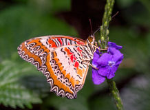 Red Lacewing Royalty Free Stock Photos