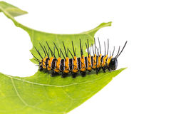 Red Lacewing caterpillar Stock Images