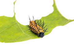 Red Lacewing caterpillar Royalty Free Stock Photography