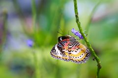 Red Lacewing Cethosia bilbis tropical butterfly resting in fee stock photos
