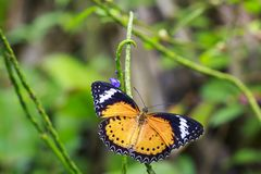 Red Lacewing Cethosia bilbis tropical butterfly resting in fee royalty free stock photo