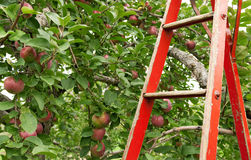Red ladder in apple orchard Royalty Free Stock Photos