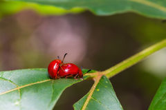 Red lady beetles Royalty Free Stock Images
