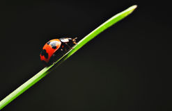 Red Lady Bird Royalty Free Stock Photos