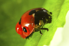 Red Lady Bug. Shot macro on a green leaf Stock Photography